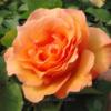Rosa stelo lungo Arancione